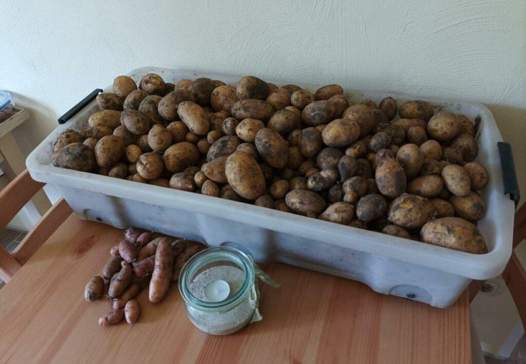 kartoffel ausbeute